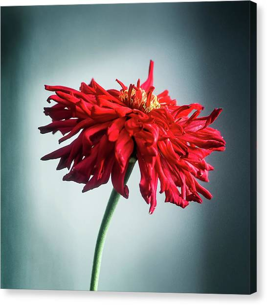 Canvas Print featuring the photograph Red Dahlia by John Brink