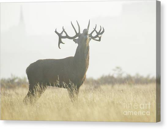Red Deer Stag - Cervus Elaphus - Bellowing Or Roaring On A Misty M Canvas Print by Paul Farnfield