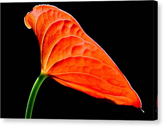 red Lily blossom Canvas Print