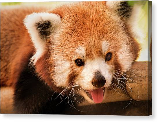 Red Panda Canvas Print