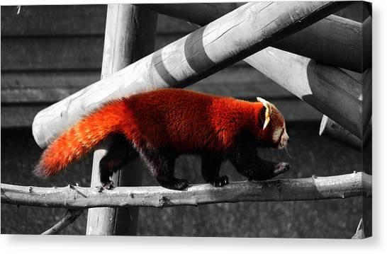 Bushy Tail Canvas Print - Red Panda by Martin Newman