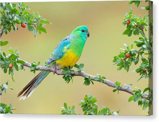 Macaws Canvas Print - Red-rumped Parrot by Maye Loeser