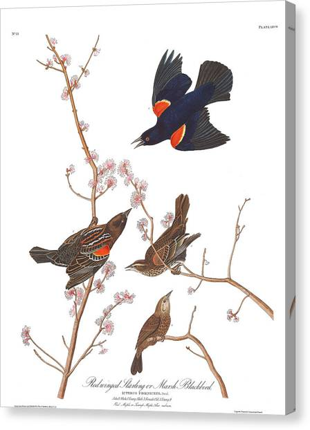 Starlings Canvas Print - Red-winged Starling by John James Audubon