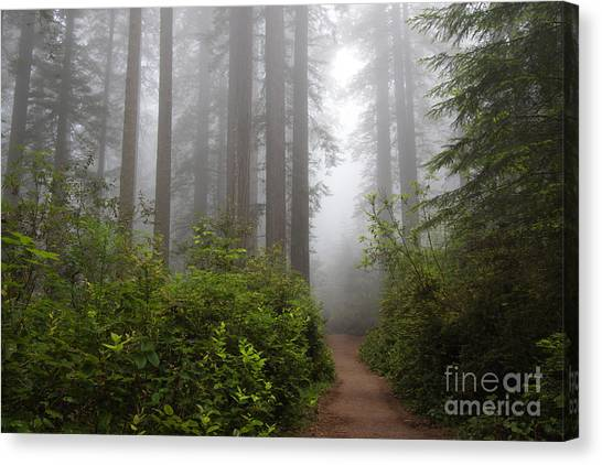 Redwood Grove Canvas Print