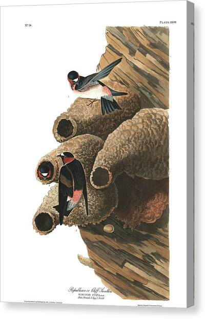 Swallows Canvas Print - Republican Or Cliff Swallow by John James Audubon