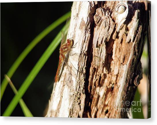 Little Things Canvas Print - Resting Dragonfly by Jeff Swan