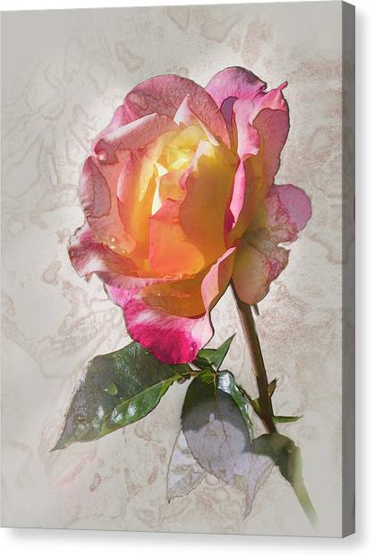 Rosa, 'glowing Peace' Canvas Print
