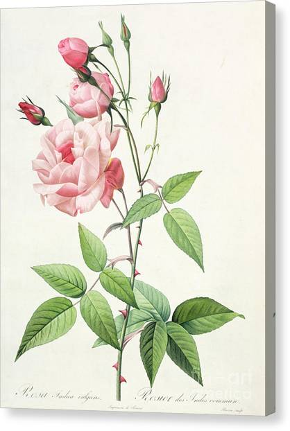 Spring Canvas Print - Rosa Indica Vulgaris by Pierre Joseph Redoute
