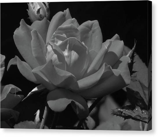 Rosey Bloom Canvas Print