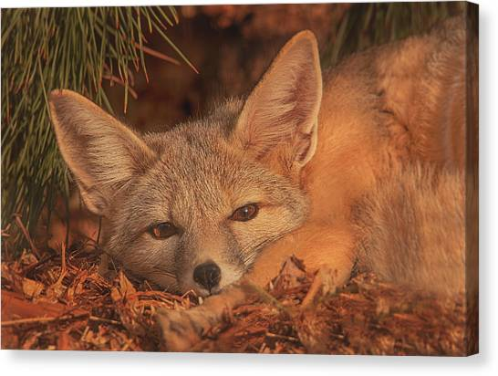 San Joaquin Kit Fox  Canvas Print