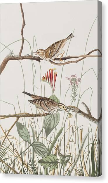 Finches Canvas Print - Savannah Finch by John James Audubon