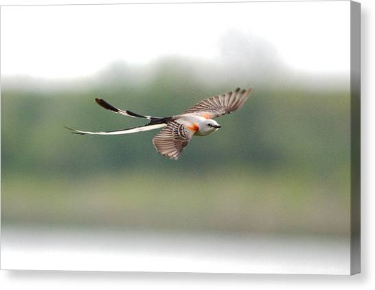Scissor-tailed Flycatcher In Flight Canvas Print