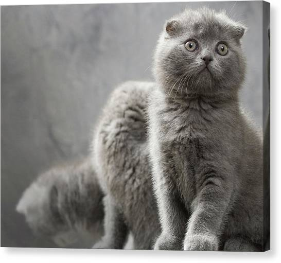Scottish Folds Canvas Print - Scottish Fold Cats by Evgeniy Lankin