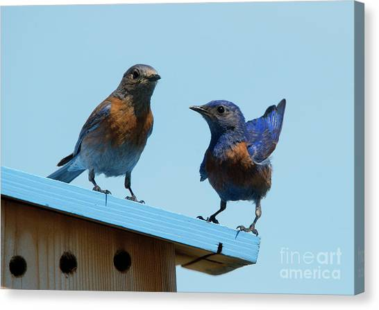 Bluebirds Canvas Print - Showing Off by Mike Dawson