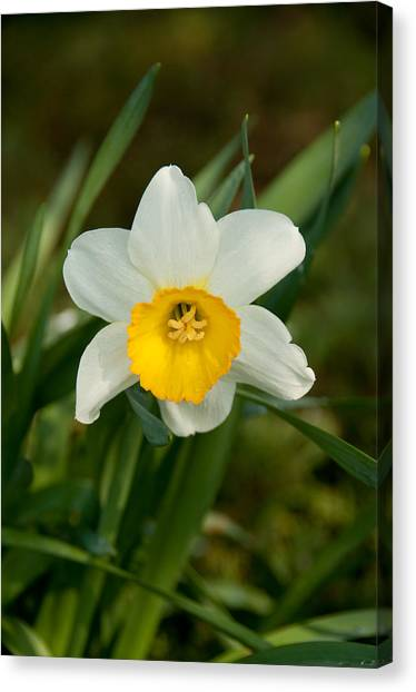 Single Daffodil Canvas Print by Charlet Simmelink