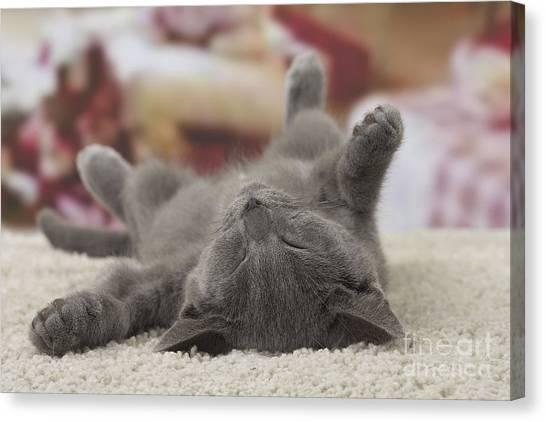 Chartreuxes Canvas Print - Sleeping Kitten by Jean-Michel Labat