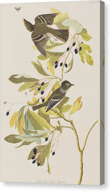 Flycatchers Canvas Print - Small Green Crested Flycatcher by John James Audubon