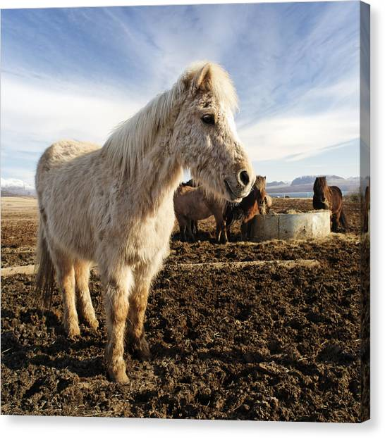 Smiling Icelandic Horse Canvas Print