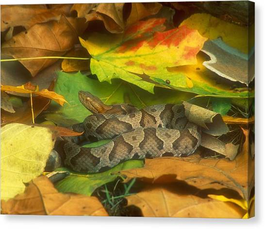 Vipers Canvas Print - Snake by Mariel Mcmeeking