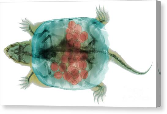 Snapping Turtles Canvas Print - Snapping Turtle, X-ray by Ted Kinsman