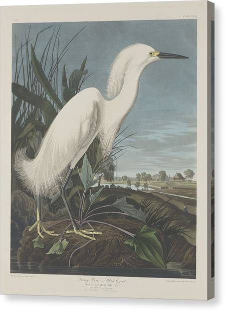 Ibis Canvas Print - Snowy Heron Or White Egret by Dreyer Wildlife Print Collections