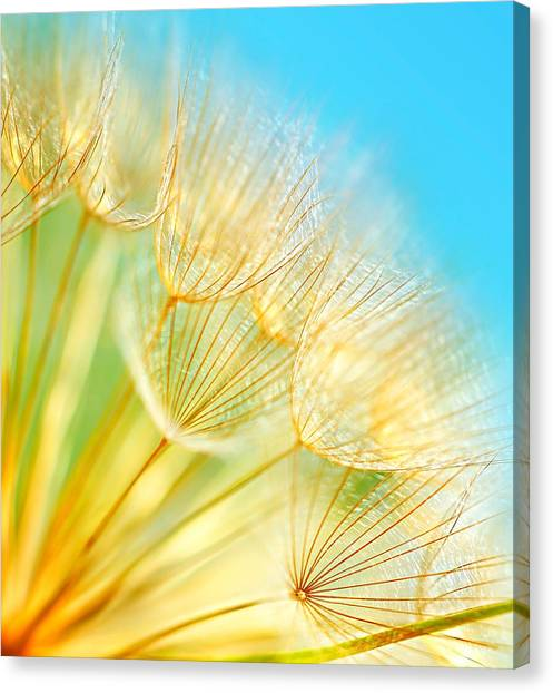 Soft Dandelion Flowers Canvas Print