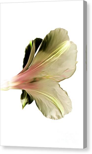 Amaryllis Canvas Print - Softly Whisper by Krissy Katsimbras