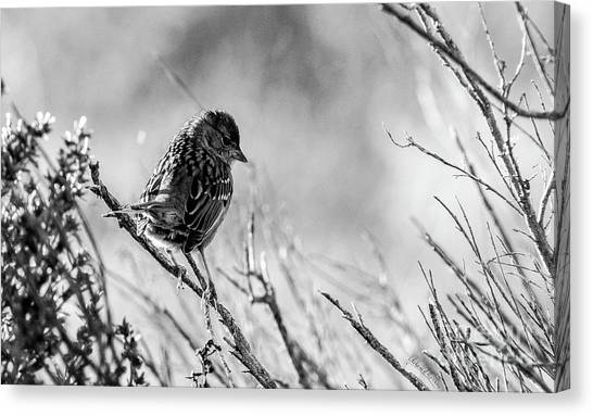 Snarky Sparrow, Black And White Canvas Print