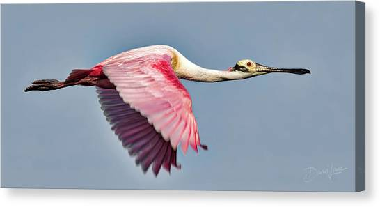 Canvas Print featuring the photograph Speedy Spoonbill by David A Lane