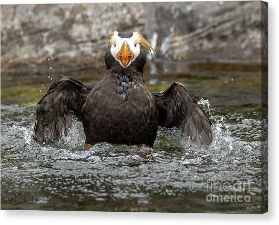 Auklets Canvas Print - Splish Splash by Mike Dawson