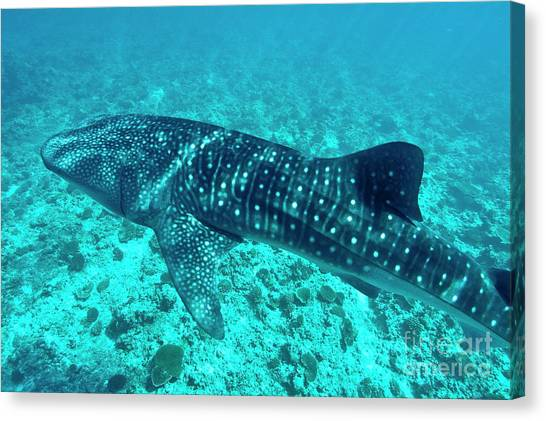 Spotted Whale Shark Canvas Print by Sami Sarkis