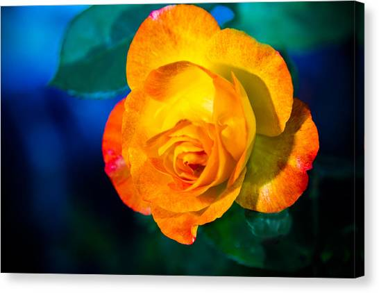 Spring Rose Canvas Print by Barry Jones