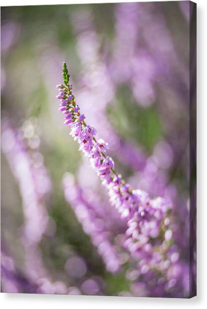 Summer Breezes Through The Heather Canvas Print