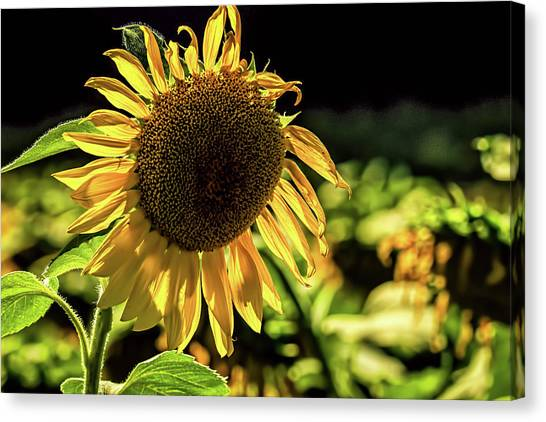 Canvas Print - Sunflower 1 by Elijah Knight