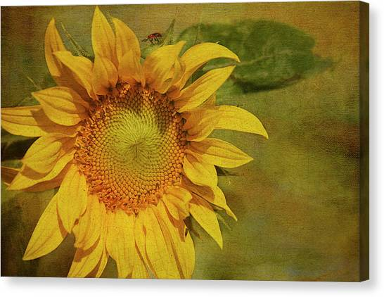 Sunflower Canvas Print - Sunflower by Cindi Ressler