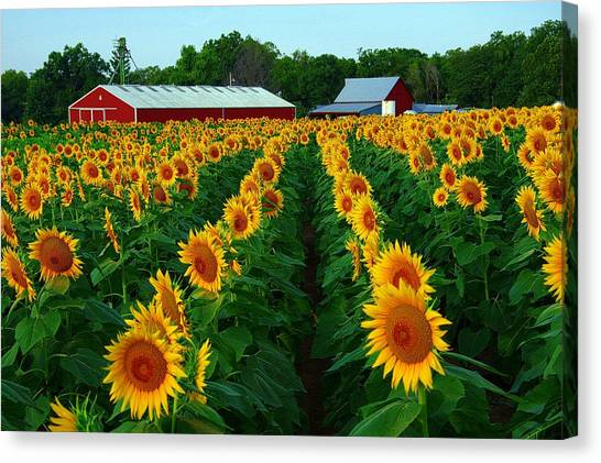 Sunflower Field #4 Canvas Print