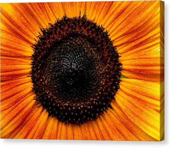 Sunflower Canvas Print by Martin Morehead