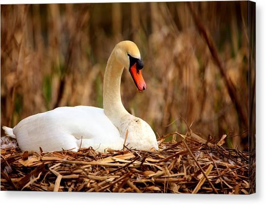 Swan Nesting Canvas Print