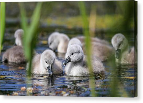 Otters Canvas Print - Swan by Super Lovely