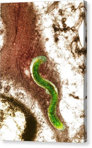 Syphilis Bacterium (treponema Pallidum) Canvas Print by Biomedical Imaging Unit, Southampton General Hospital