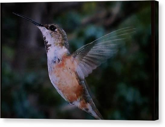 Tan Hummingbird Canvas Print
