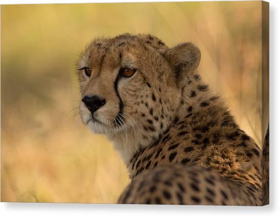 Cheetahs Canvas Print - Tears Of A Cheetah by Ashley Vincent