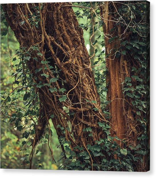 Sherwood Forest Canvas Print - Tendrils by Chris Dale