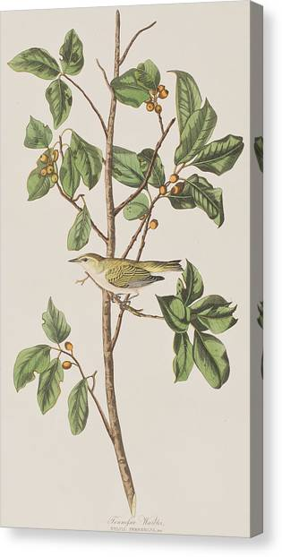 Warblers Canvas Print - Tennessee Warbler by John James Audubon