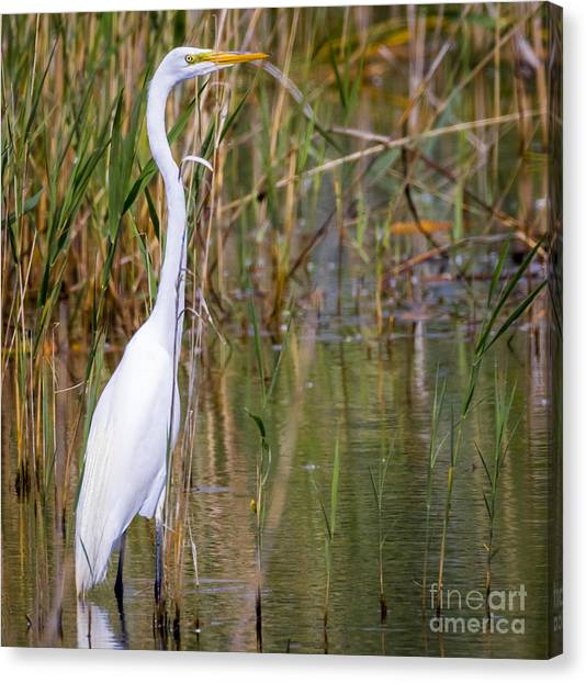 The Great White Egret Canvas Print by Ricky L Jones