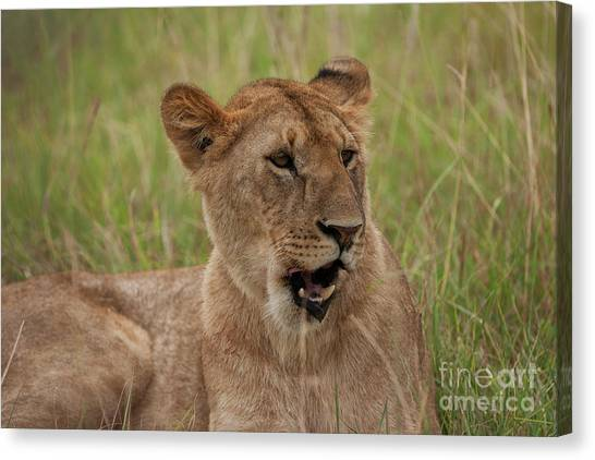 Lionesses Canvas Print - The Lioness by Smart Aviation