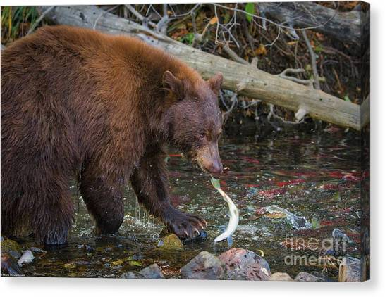 Bear Claws Canvas Print - The One That Got Away by Mitch Shindelbower