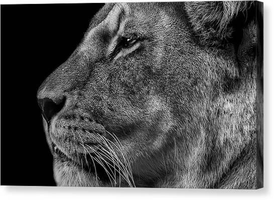 Lionesses Canvas Print - The Surveyor by Paul Neville