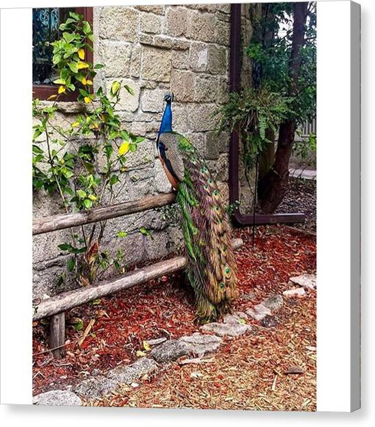 Peacocks Canvas Print - Beautiful Peacock by Janel Cortez