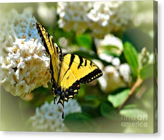 Tiger Swallowtail Canvas Print by Elaine Manley